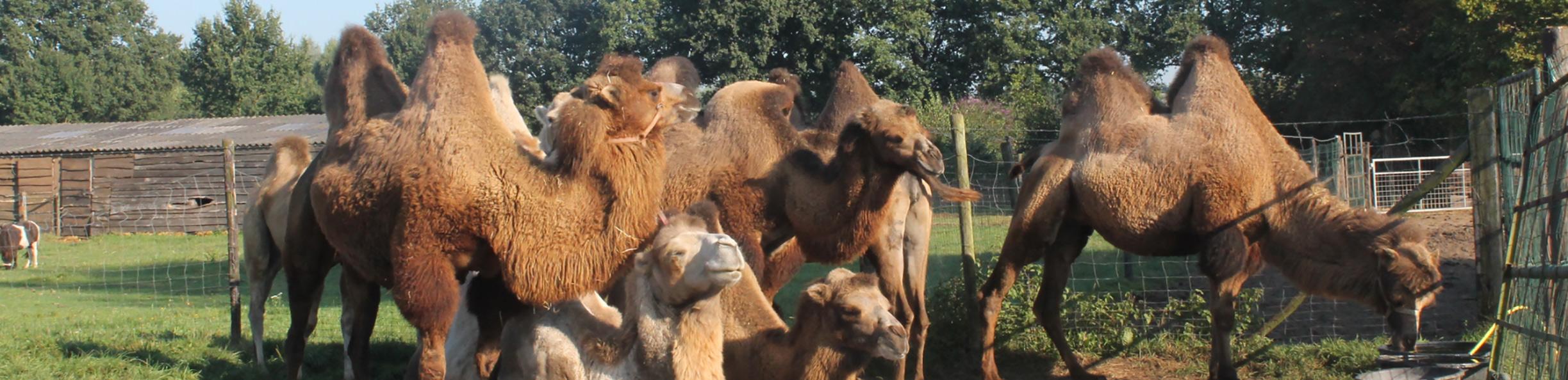 http://www.echtekamelen.nl/uploads/images/header/standaard.jpg